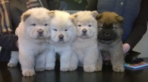 chow-puppies