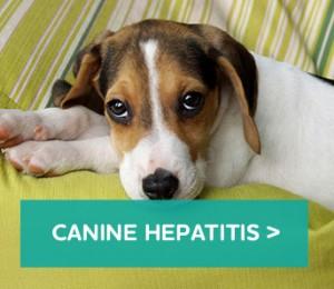Canine-hepatitis