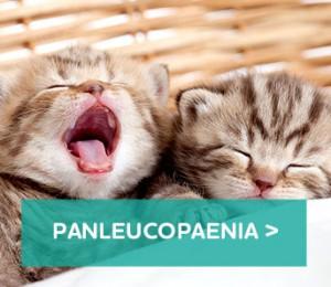 Cat-panleucopaenia