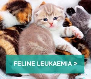 Feline-Leukkaemia